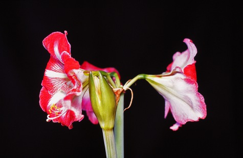 The Red Amaryllis (Photograph)
